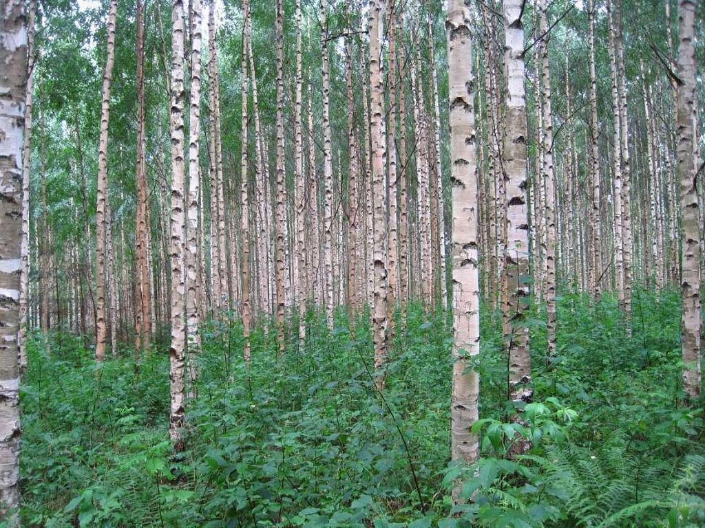 birch-trees-finland